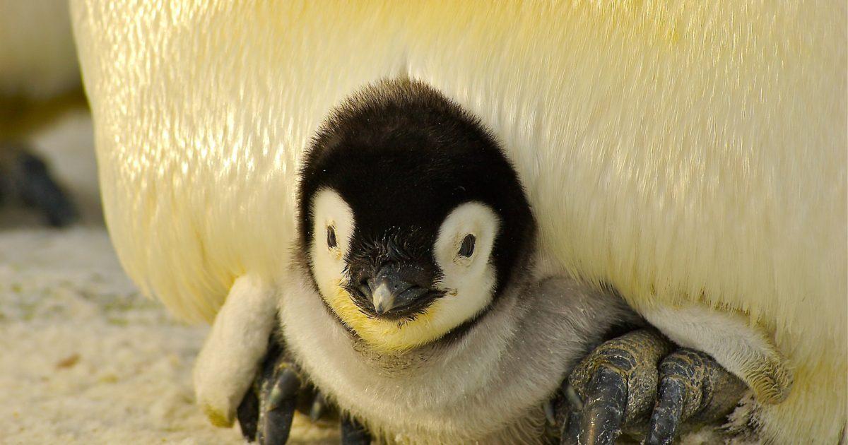 penguin-429125_1920